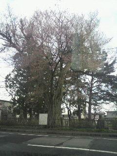 十六羅漢の桜